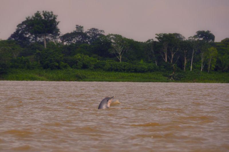 Bekommt man nur selten zu Gesicht: der Amazonasdelfin